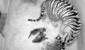Doi pui de tigru din Sumatra s-au născut în capitala SUA