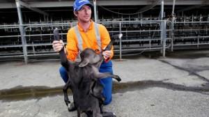 Un fermier a rămas uimit atunci când a văzut ce i-a fătat vaca