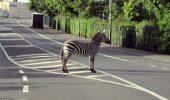 O zebră a fugit de poliţie şi s-a camuflat într-o… zebră!