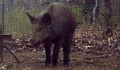 Un porc DEPRAVAT a speriat turiștii
