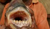 Peștele devorator de testicule a ajuns în Franța