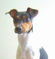 220px-Brazilian_terrier