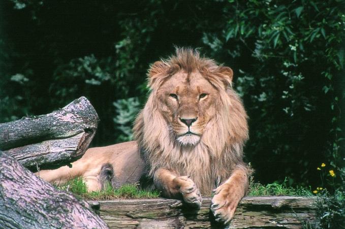 Aalborg_zoo_lion