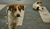 Stray_dogs_crosswalk