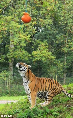 Tigrul morocănos care A FURAT Halloweenul