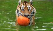 tigrul morocanos
