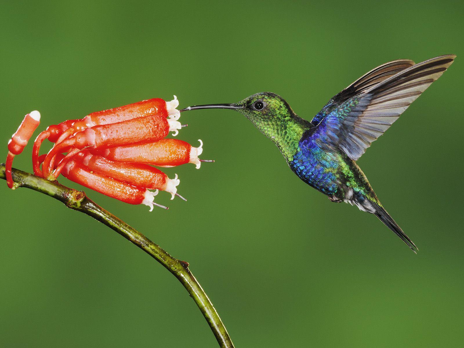 colibri main