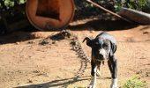 INCREDIBIL! 376 de Pitbulli au fost confiscaţi din mâinile unor organizatori de lupte de câini!!!!