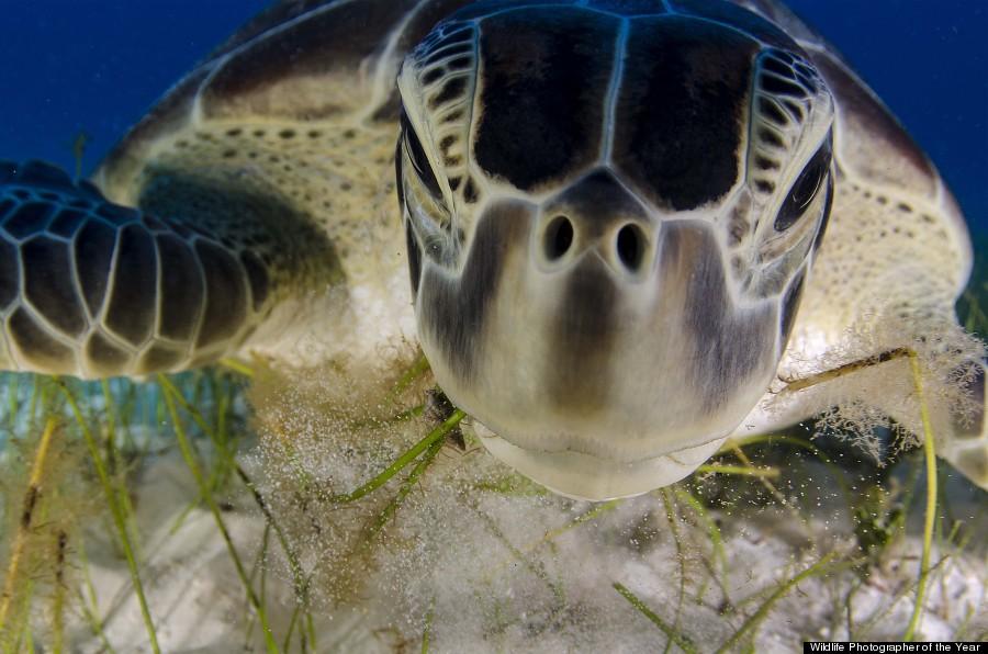 green turtle feeding on sea grass