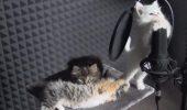 Trei pisici au intrat în studio și au înregistrat o melodie. VIDEO