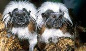 Saguinul, maimuţa politicoasă care te va ajuta cândva să comunici mai bine cu oamenii din jurul tău!