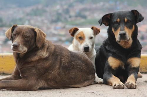 three-stray-dogs