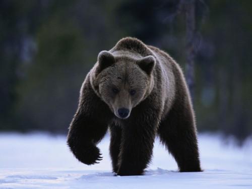 Brown Bear Walking in Snow ca. 2001