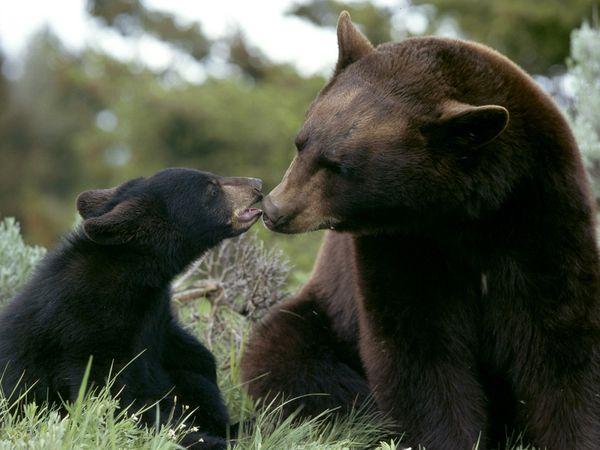 Urșii, incluși pe lista animalelor protejate?