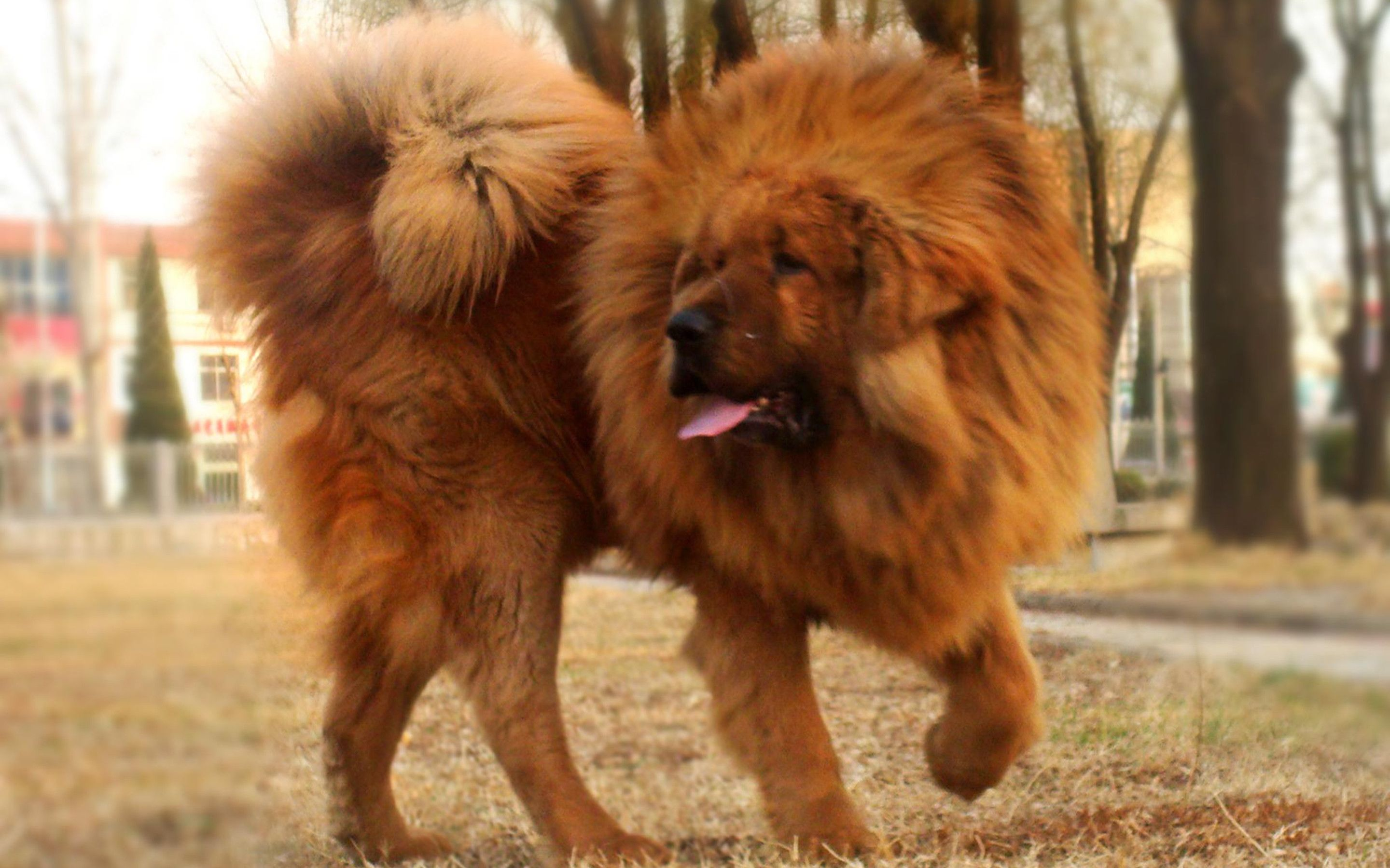 20130904155007-big-tibetan-mastiff-dog