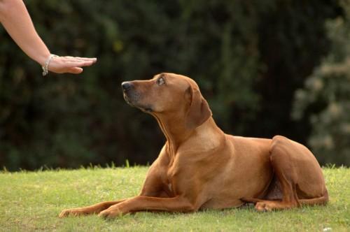 Dog training lie down