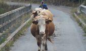 Vaca Bălțată: născută în România, torturată în drumul spre China