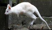 Apariție de SENZAȚIE. Un cangur albinos a fost văzut în Australia