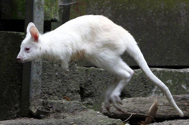 cangur albinos