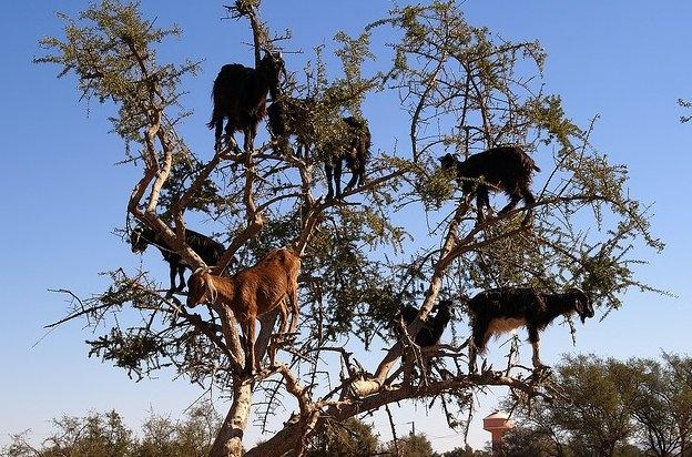 capre copac