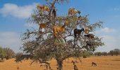 Şocant! Nu o să crezi ce vezi! Copacul care a fost invadat de… CAPRE! VIDEO