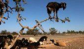 Şocant! Nu o să crezi ce vezi! Copacul care a fost invadat de… CAPRE!