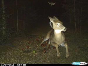 Greu de crezut, dar o veveriță a băgat spaima într-o căprioară