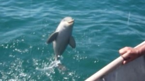 Un delfin le mulțumește oamenilor care l-au eliberat. VIDEO