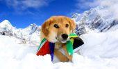 Câinele care a ajuns în manualul de istorie: Maidanezul Rupee, primul care a urcat pe Everest!