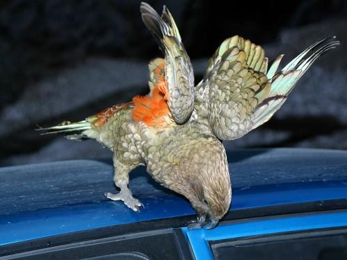 """Papagalii Kea, """"clovnii răi"""" care provoacă avalanşe şi strică tot ce prind!"""