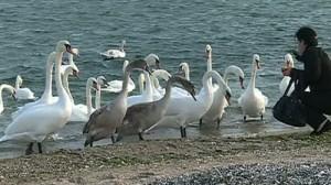 Lebedele au luat cu asalt litoralul Mării Negre