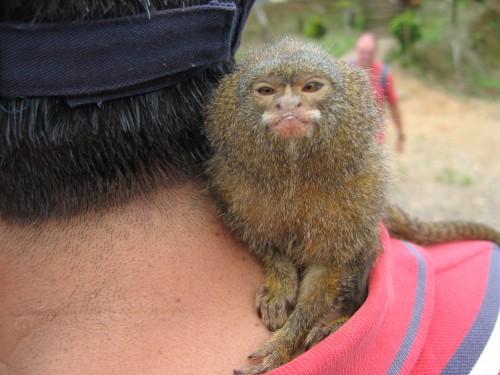 Maimuţa de buzunar, NOUL animal de companie