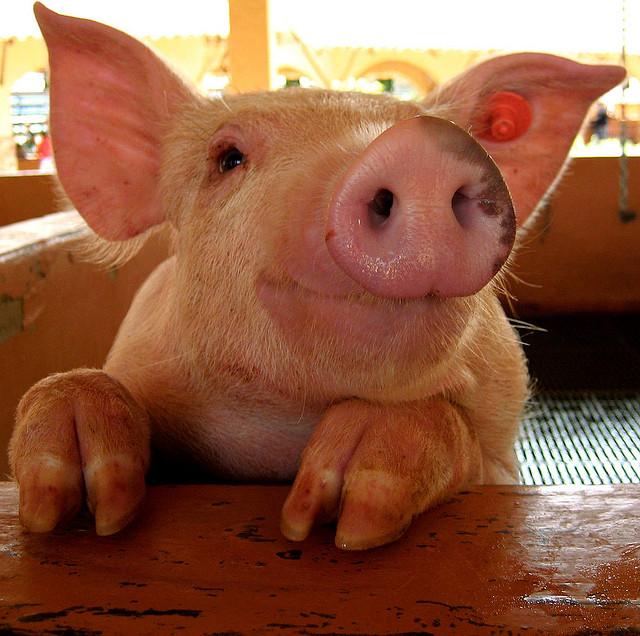 porc fericit