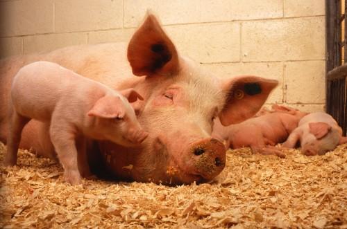 porc scroafa