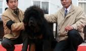 tibetan-mastif-05