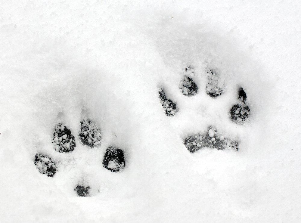 Dog Toe Impressions in Snow