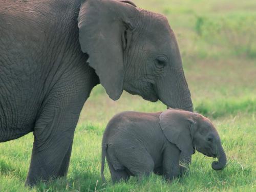 Imagini Eelefanti
