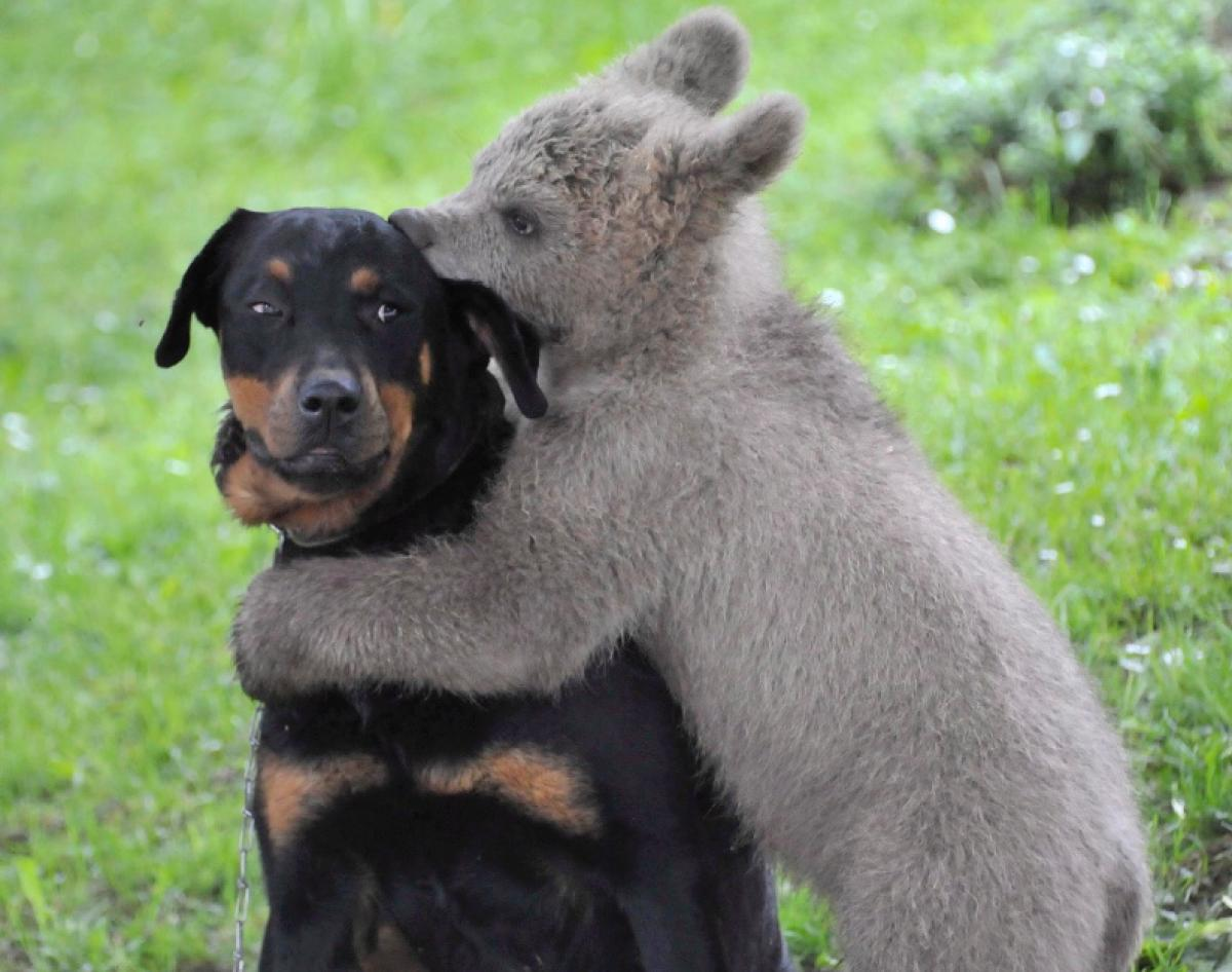 brown-bear-hugs-dog-slovenia.