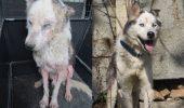 Uite cum arăta un Husky găsit la Cernavodă şi vezi cum arată acum! Veterinarii au făcut o minune pentru acest câine abandonat!
