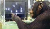cimpanzei-memorie