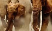 elefanεi