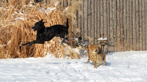 Prietenie fără frontiere. Un ghepard și un câine sunt de nedespărțit. VIDEO