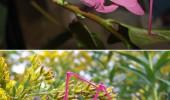 greierele roz 1