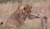 leoaica a adoptat un pui de antilopa