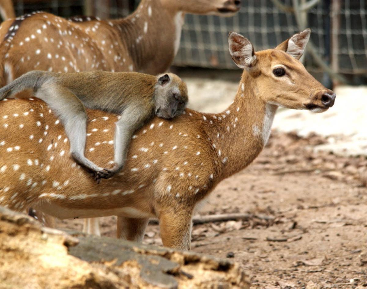 maimutica macaque si transportul sau, cangurul.