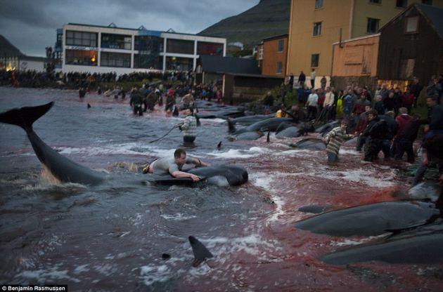 Macel balene Insulele Feroe