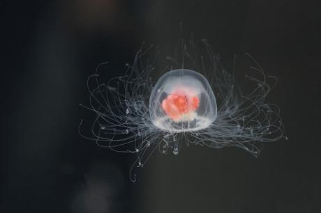 meduza1