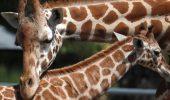 mama girafa alaturi de pui