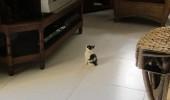 pisica se uita latv