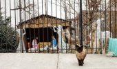 O colonie de pisici maidaneze din Brooklyn a găit un refugiu foarte călduros şi confortabil: ieslea lui Iisus.